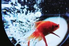 rybika